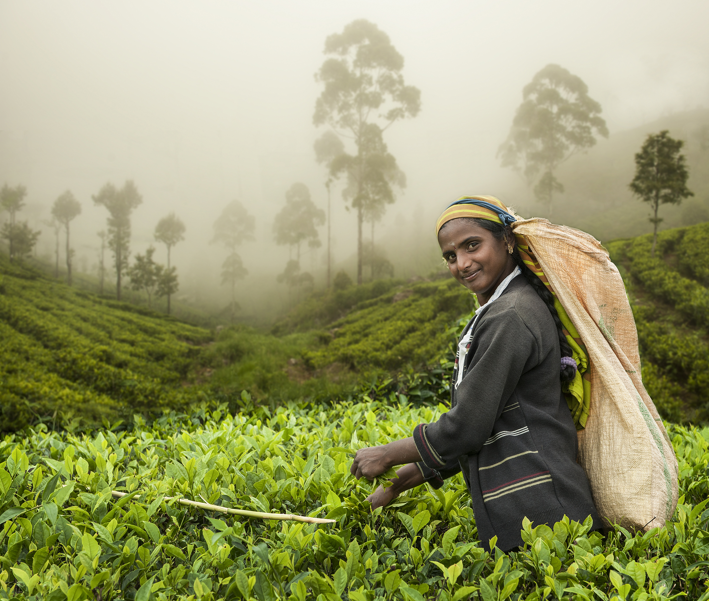 Mark Sedgwick – The Tea Picker