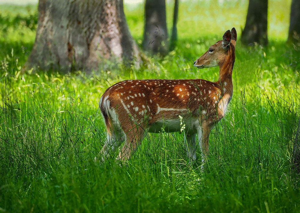 Fawn in the Park