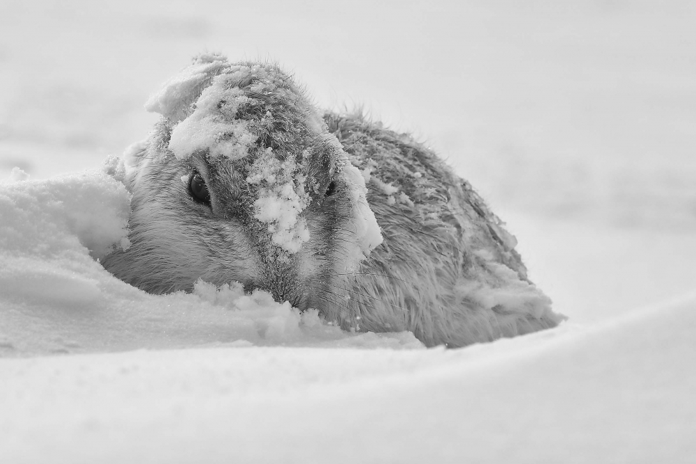 Mountain Hare in the Snow