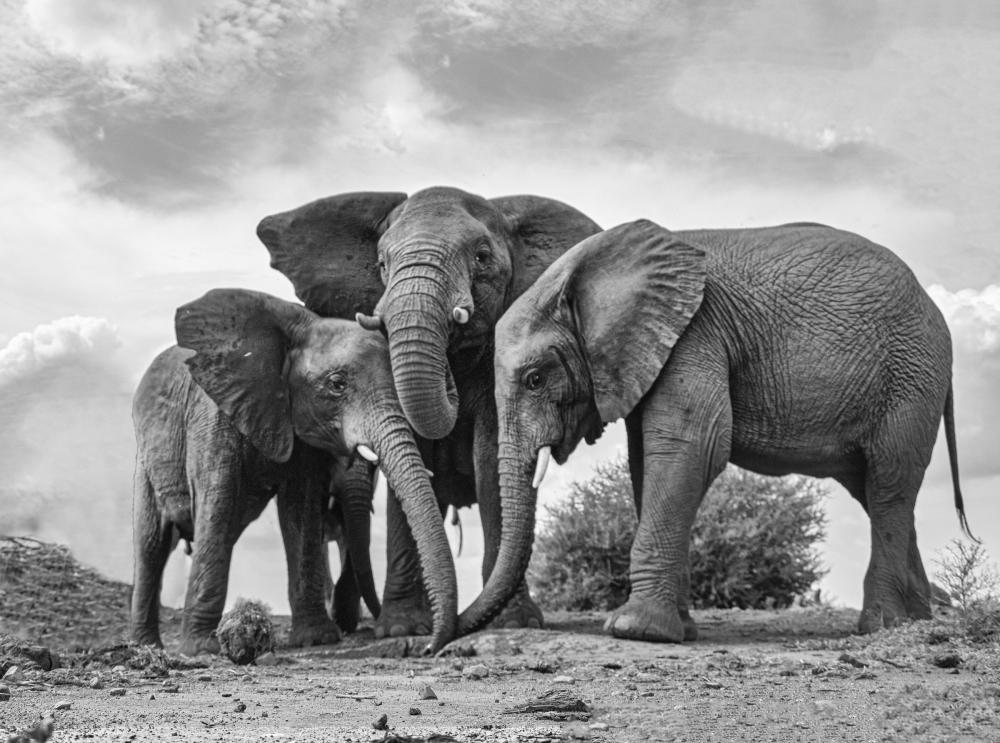 A007 Elephants